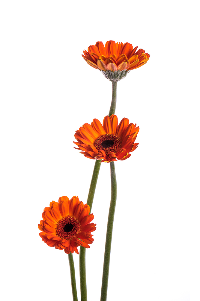 Gerbera Mini Orange Allure 2