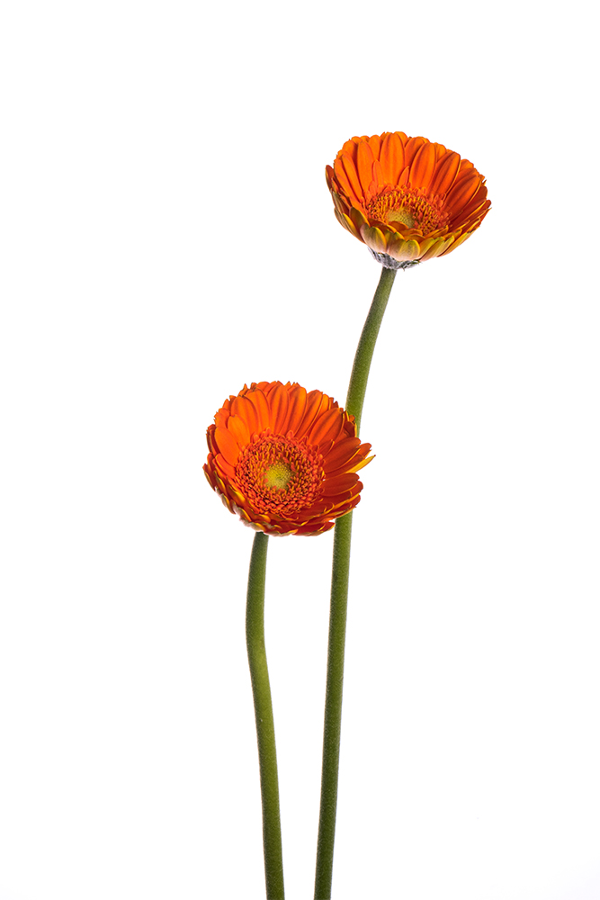 Gerbera Mini Orange Olivia 2