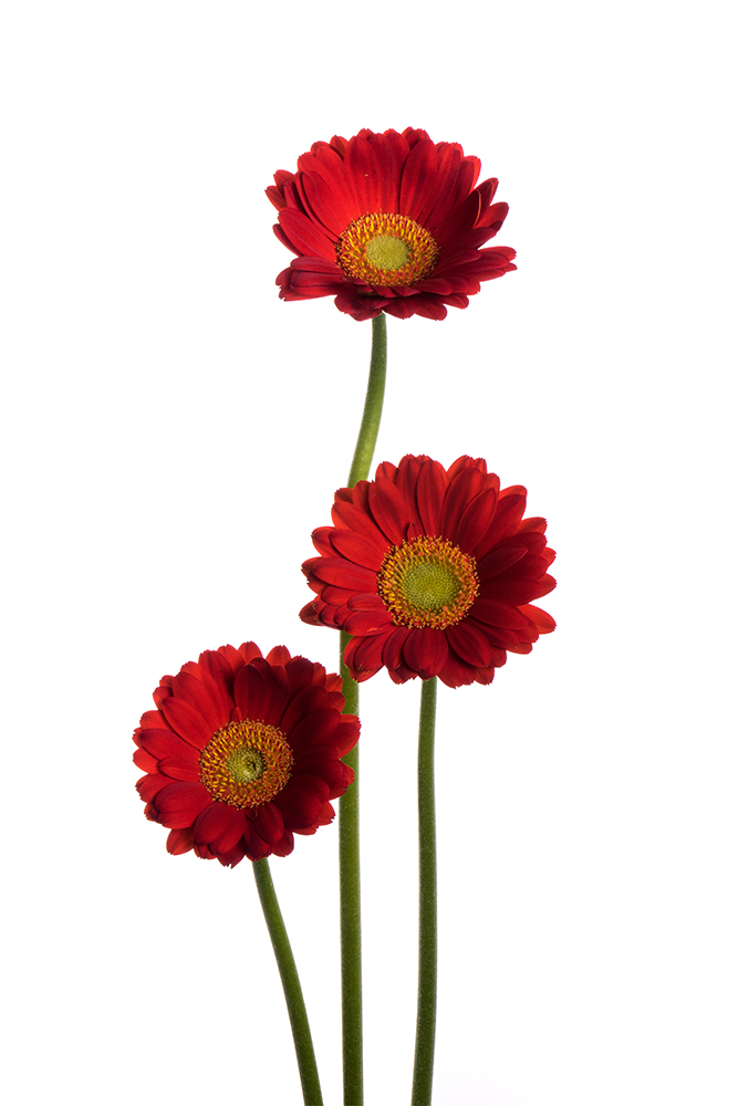 Gerbera Mini Red Choiz 2