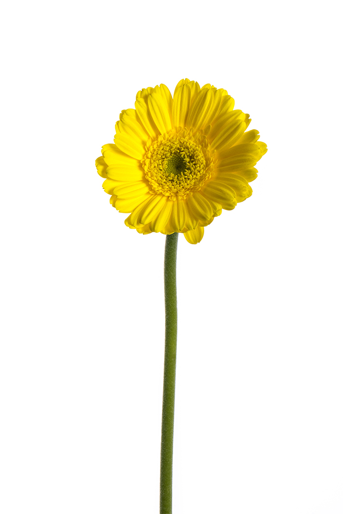 Gerbera Mini Yellow Yell 1