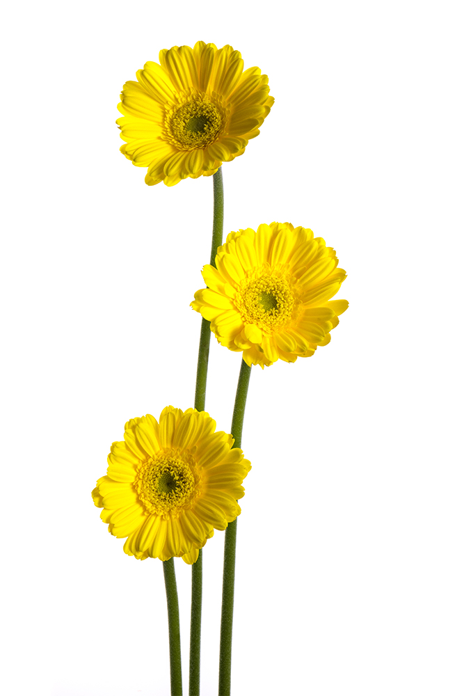 Gerbera Mini Yellow Yell