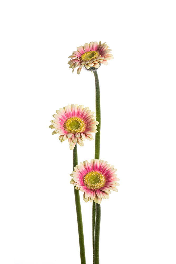 Gerbera Piccolini Hot Pink-White Linosa