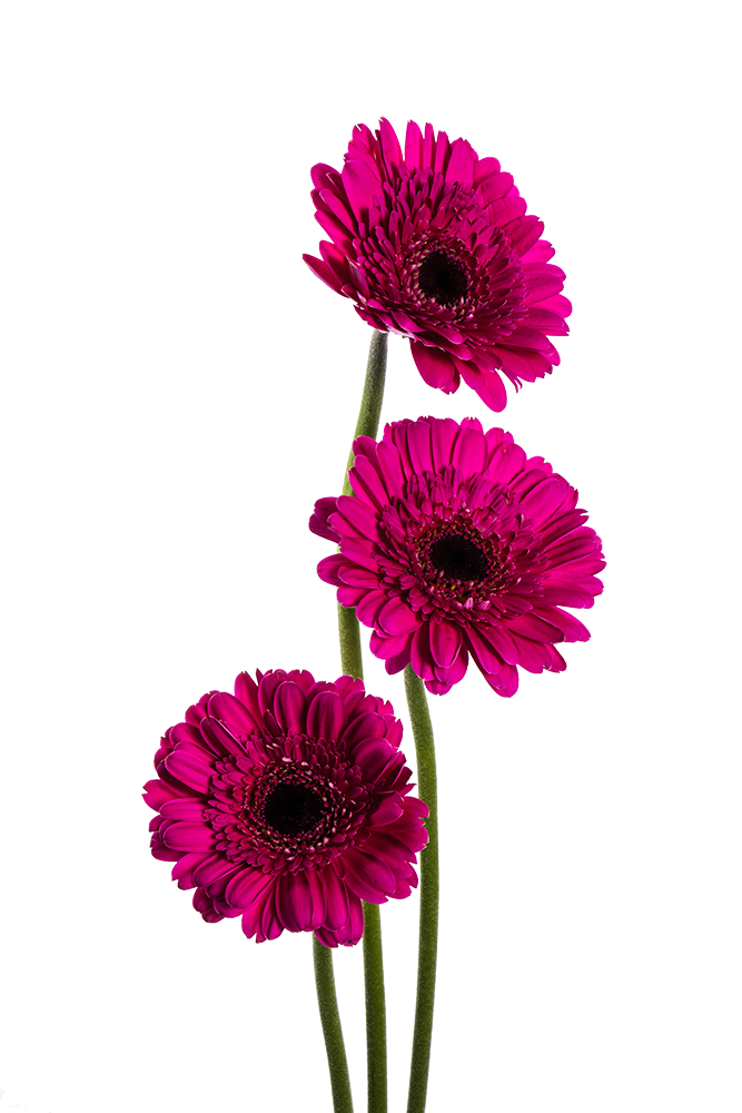 Gerbera Hot Pink Boost