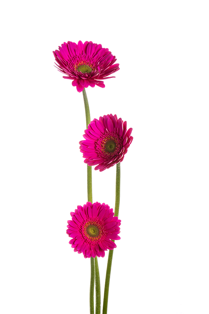 Gerbera Hot Pink Mermaid