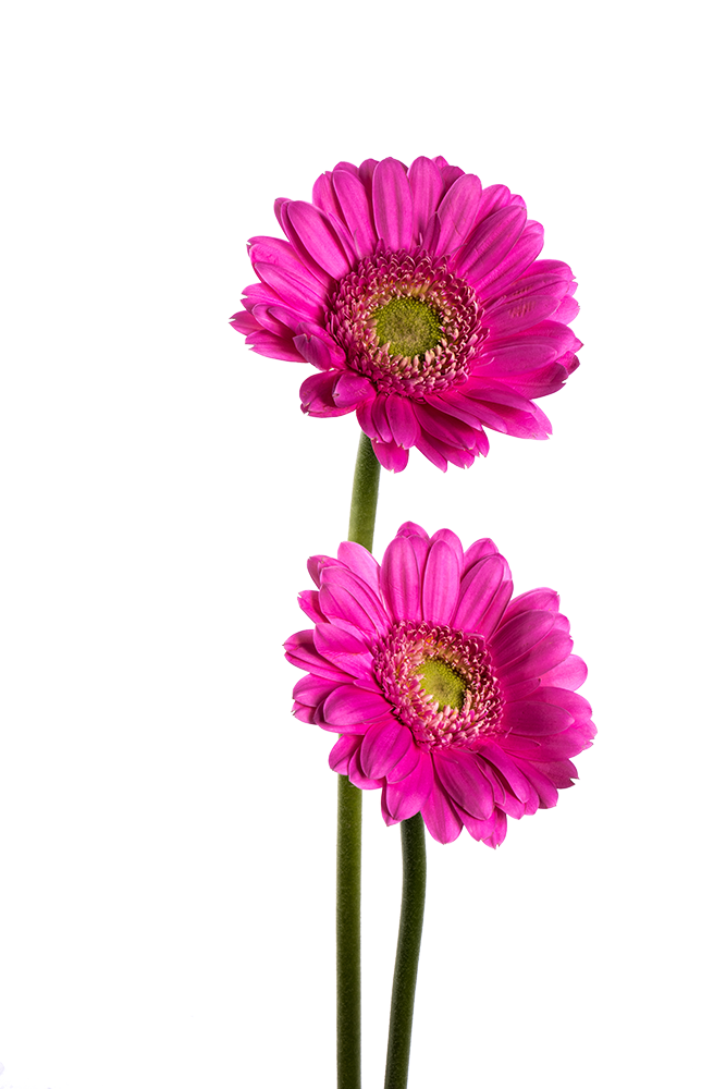 Gerbera Mini Lavender Peter Pan