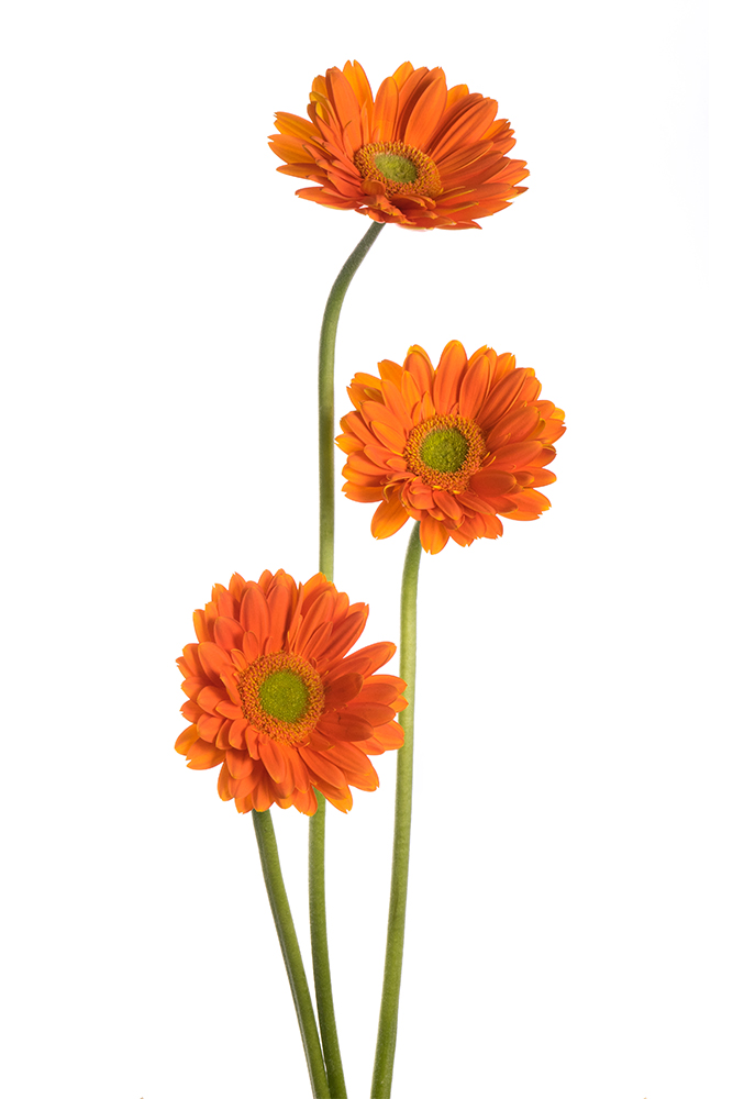 Gerbera Orange Fan