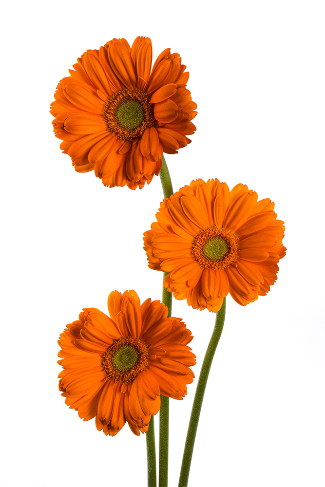 Gerbera Mini Orange Mirai