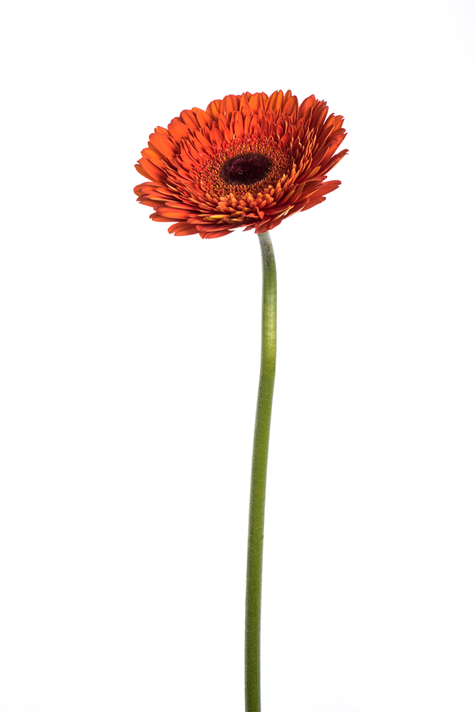 Gerbera Orange Terra Lauro