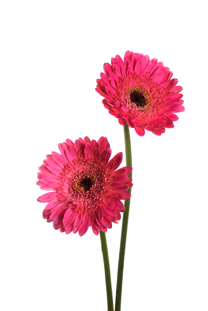 Gerbera Pink Bublicos