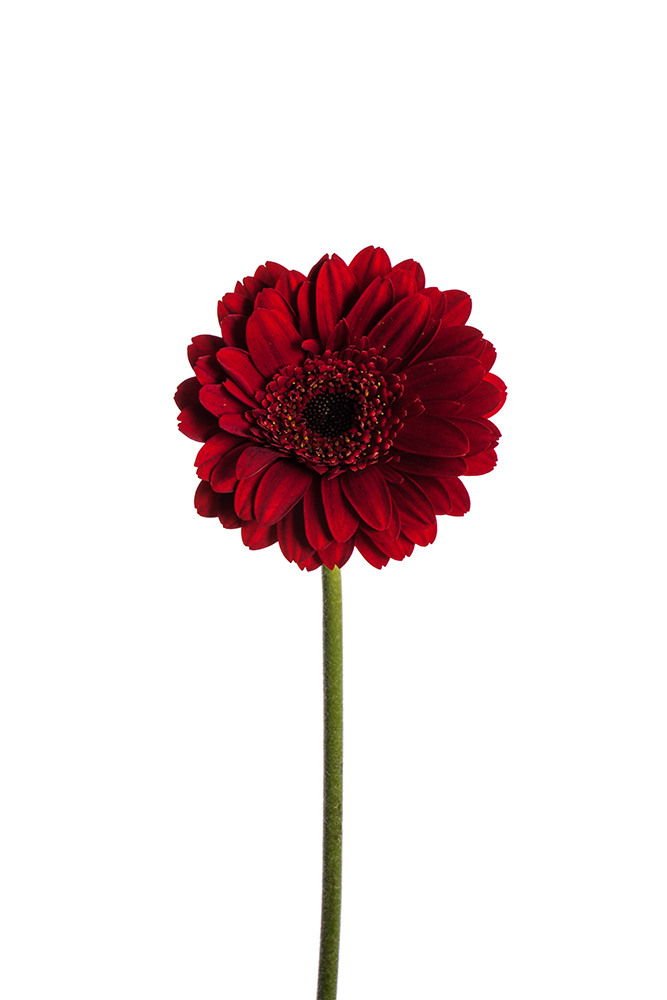 Gerbera Mini Red Masserati