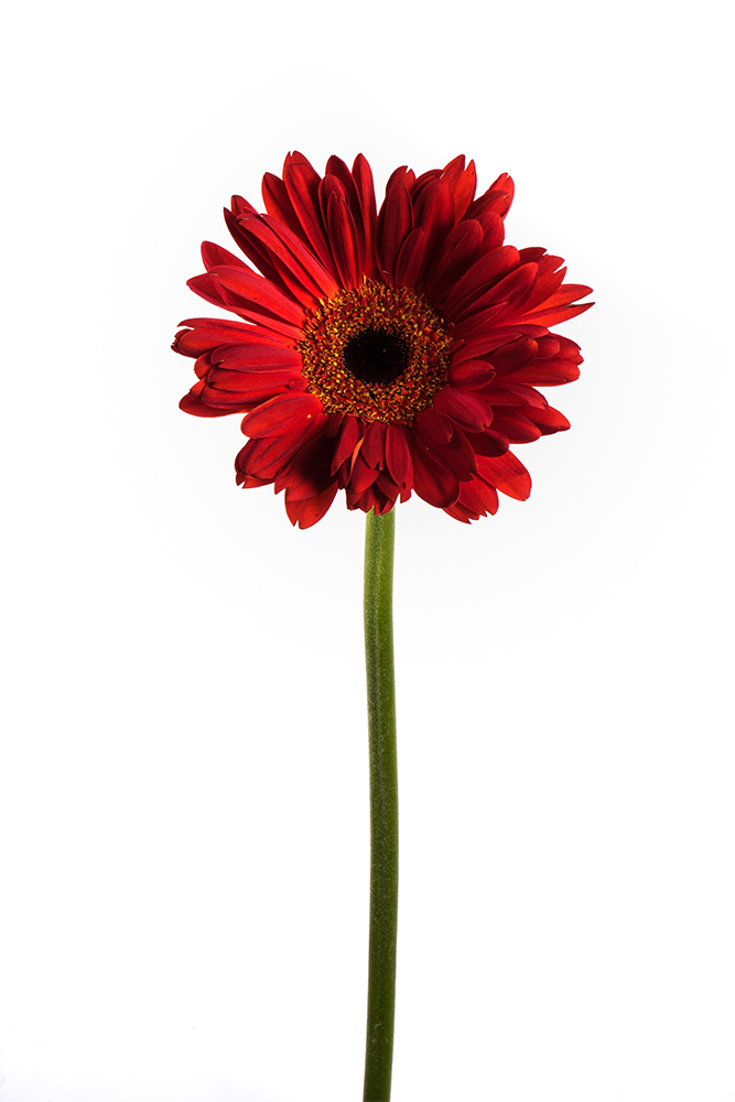 Gerbera Red Rioja 2