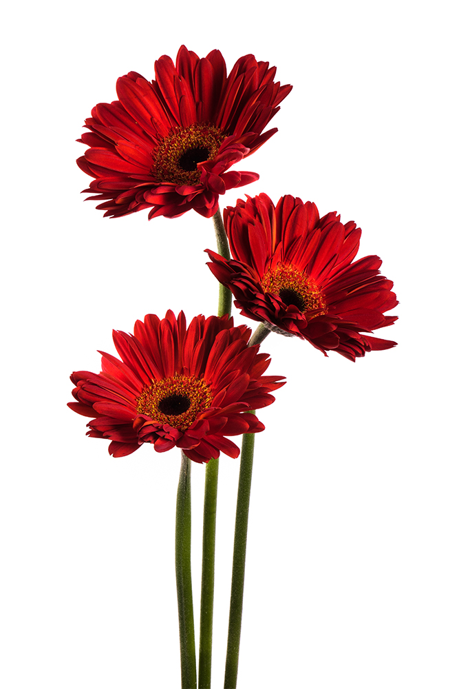 Gerbera Red Rioja