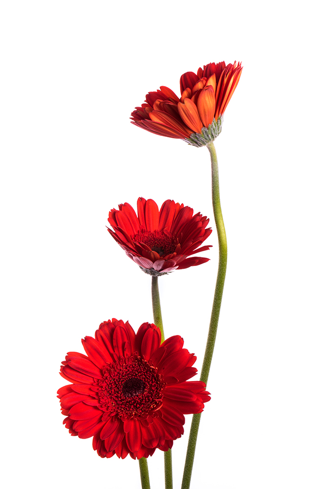Gerbera Red Sarinah 1