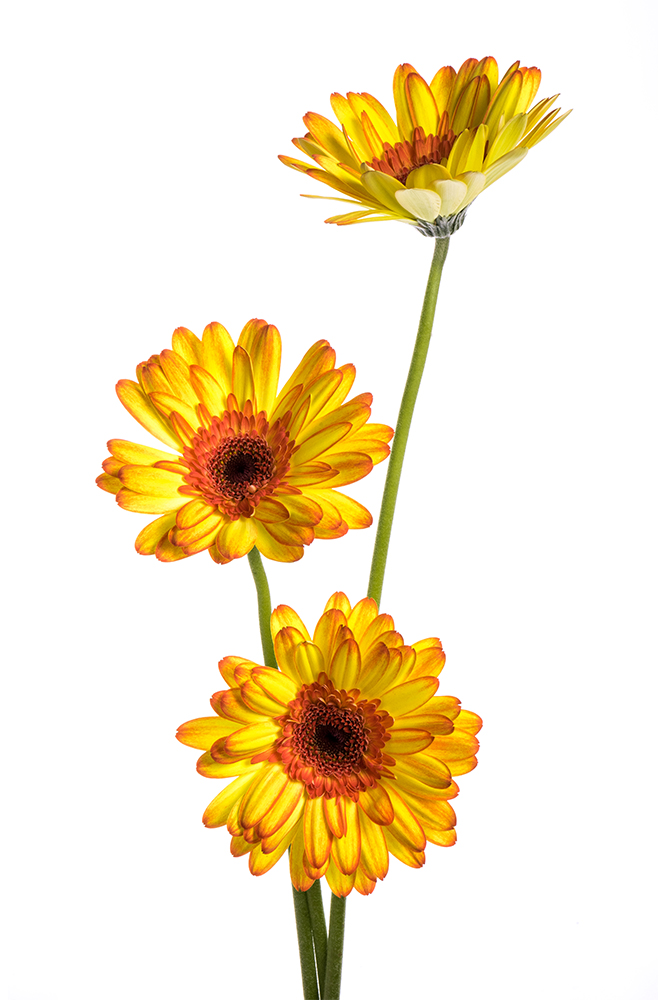 Gerbera Yellow-Orange Mariyo