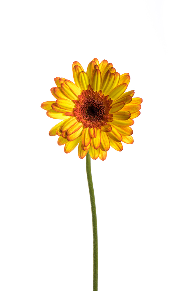 Gerbera Yellow-Orange Mariyo 2