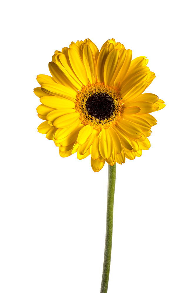 Gerbera Yellow Black Jack