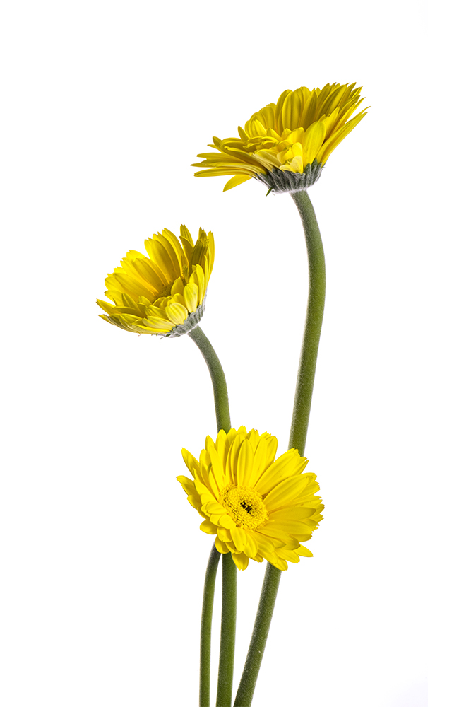 Gerbera Yellow Prince 1