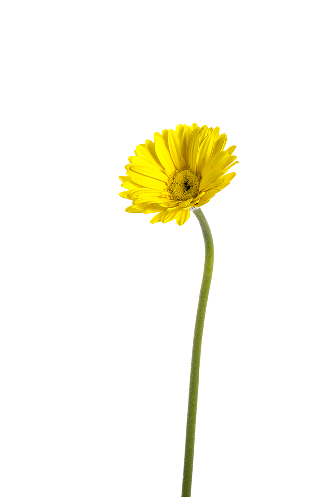 Gerbera Yellow Prince 2