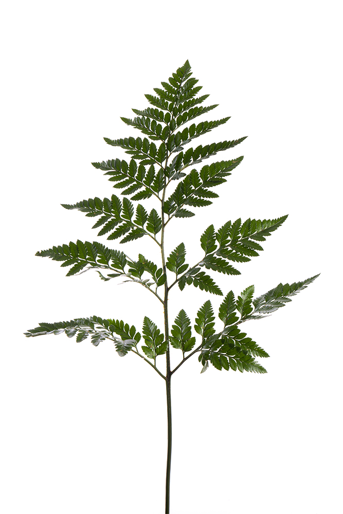 Green Leatherleaf