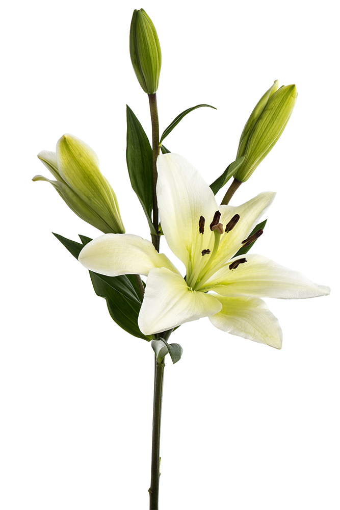 Lily Asiatic White