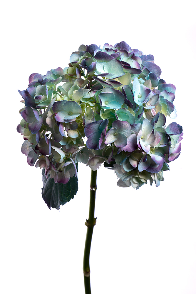 Hydrangea Blue Dyed Antique