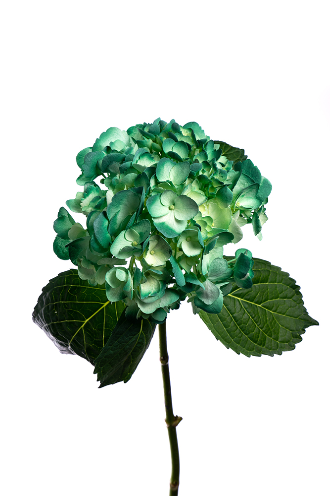 Hydrangea Green Dyed Antique