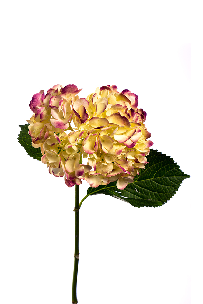 Hydrangea Yellow-Burgundy Dyed Antique
