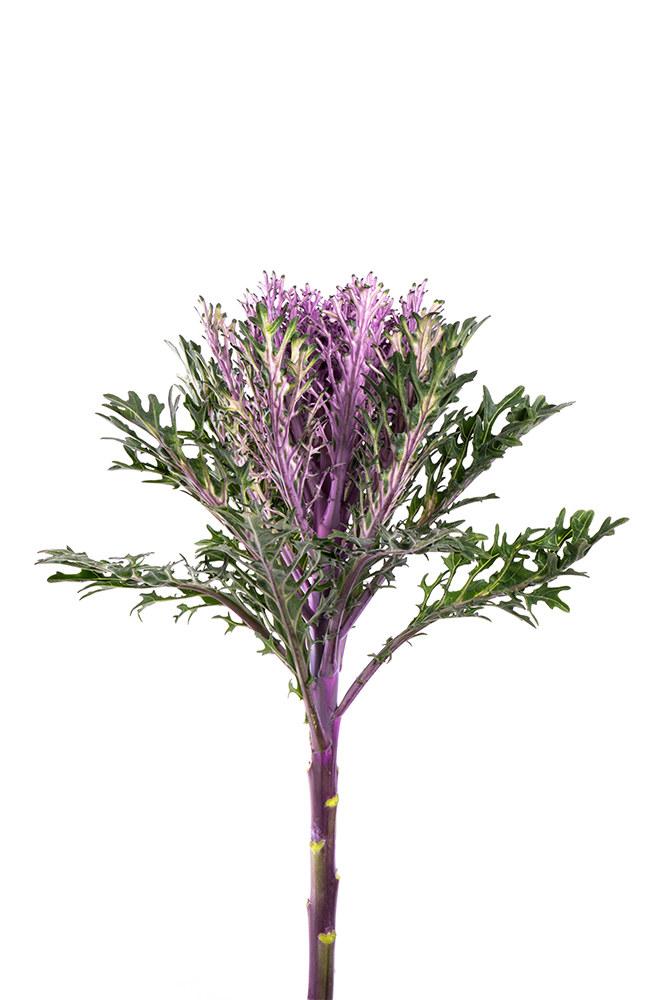 Kale Lavender Queen Red