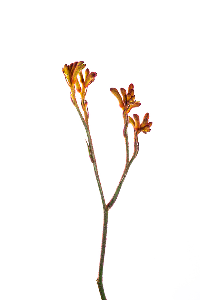 Kangaroo Paw Orange Bush Tango