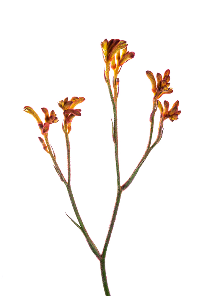 Kangaroo Orange Paw Bush Tango 2