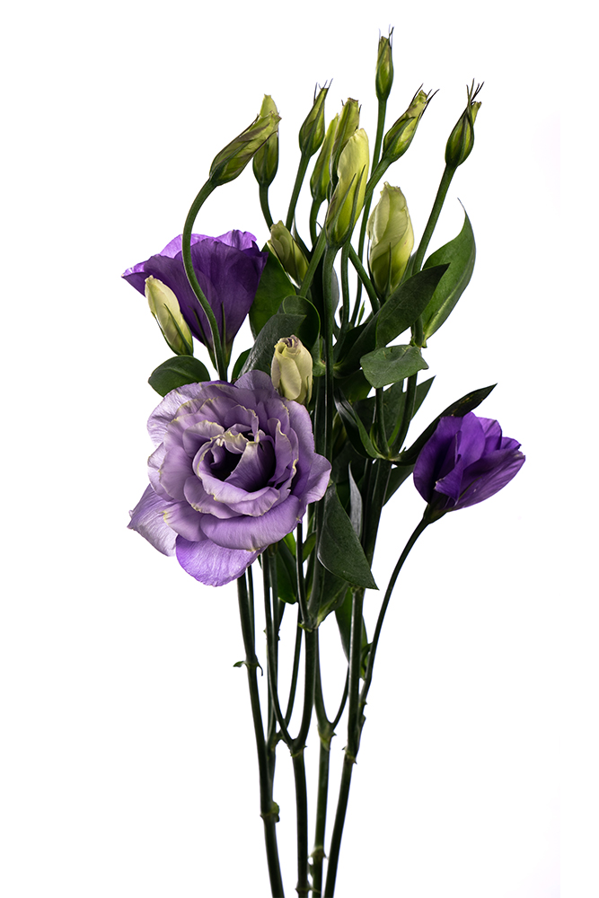 Lisianthus Lavender Dream