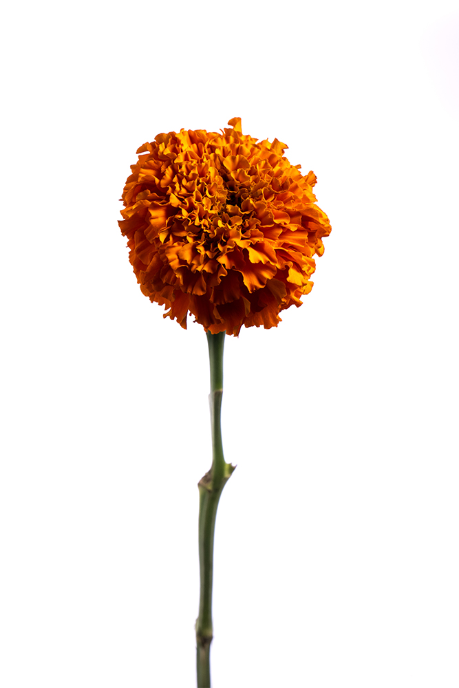 Marigold Orange