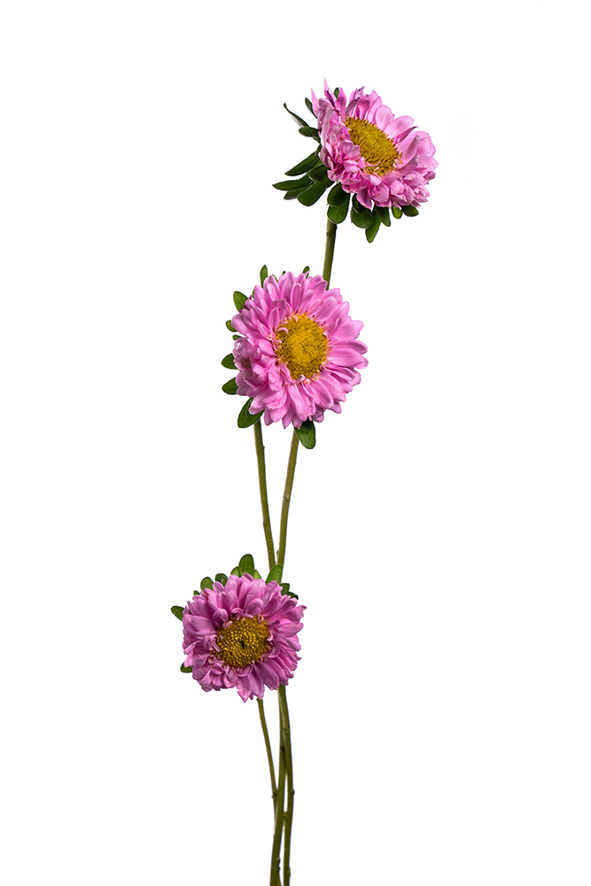 Matsumoto Aster Light Pink Calistefus