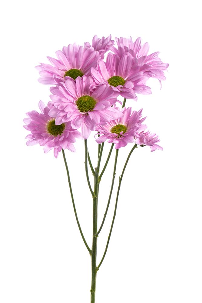 Pom Daisy Lavender Cutie Pie 2