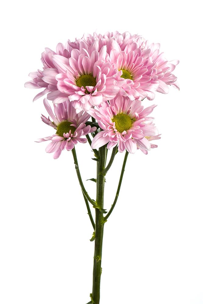 Pom Daisy Lavender Cutie pie