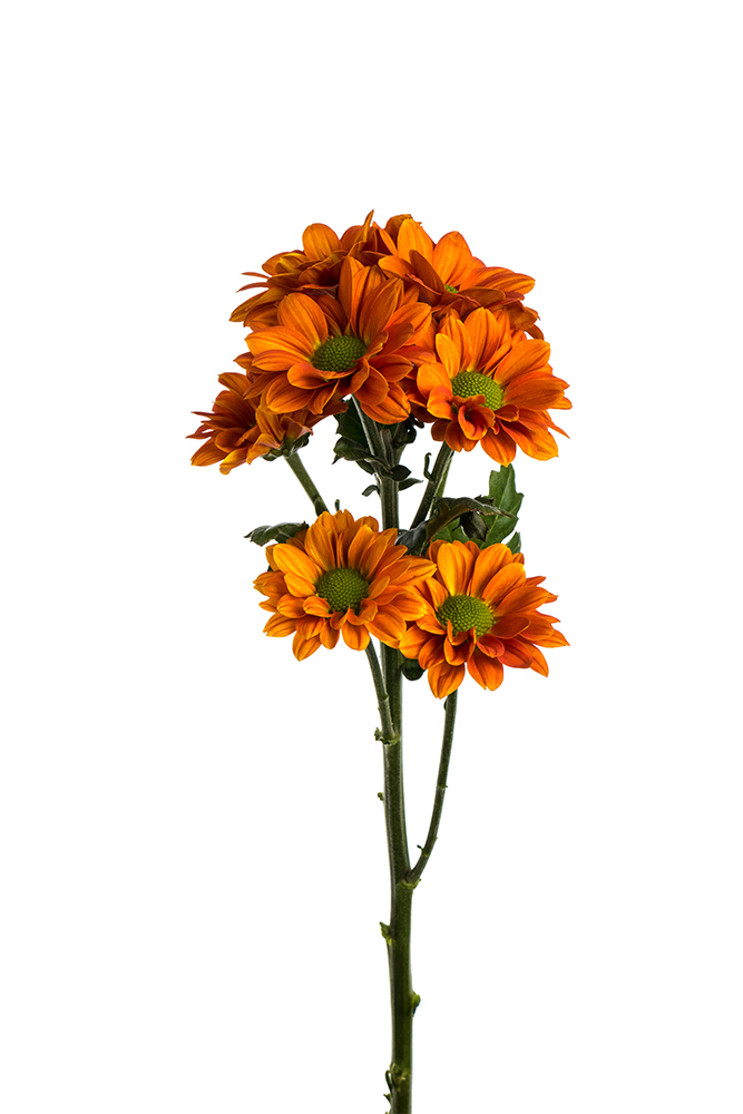 Pom Daisy Terrific Dark Orange Medium Bronze