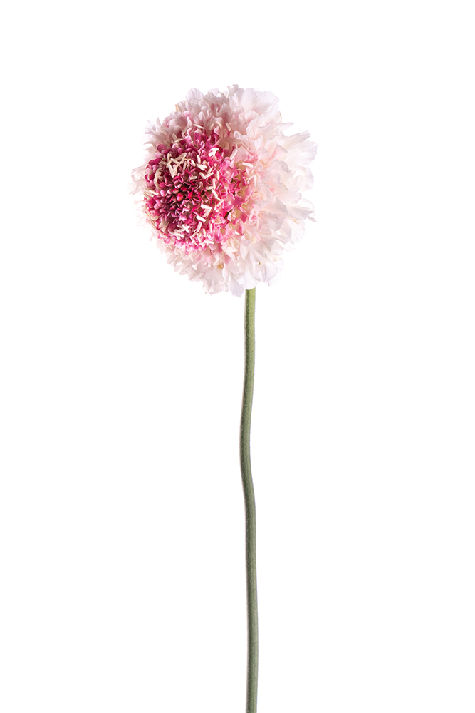 Scabiosa Bicolor White-Pink Strawberry Hoop Scoop
