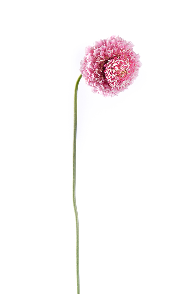 Scabiosa Cotton Pink Candy Scoop