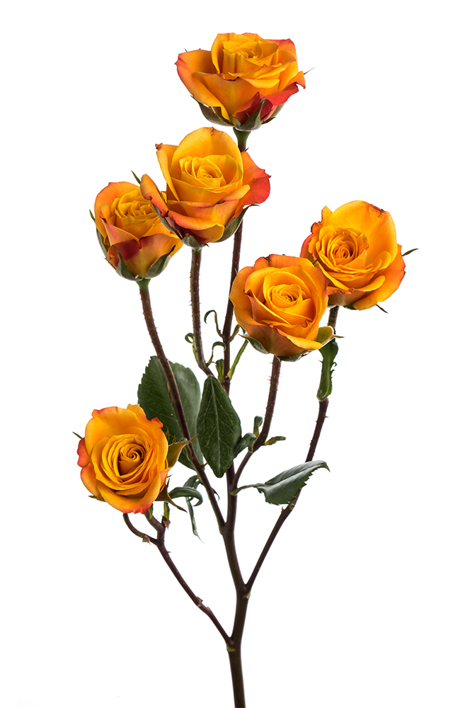 Spray Rose Bicolor Yellow-Orange Mango Sensation