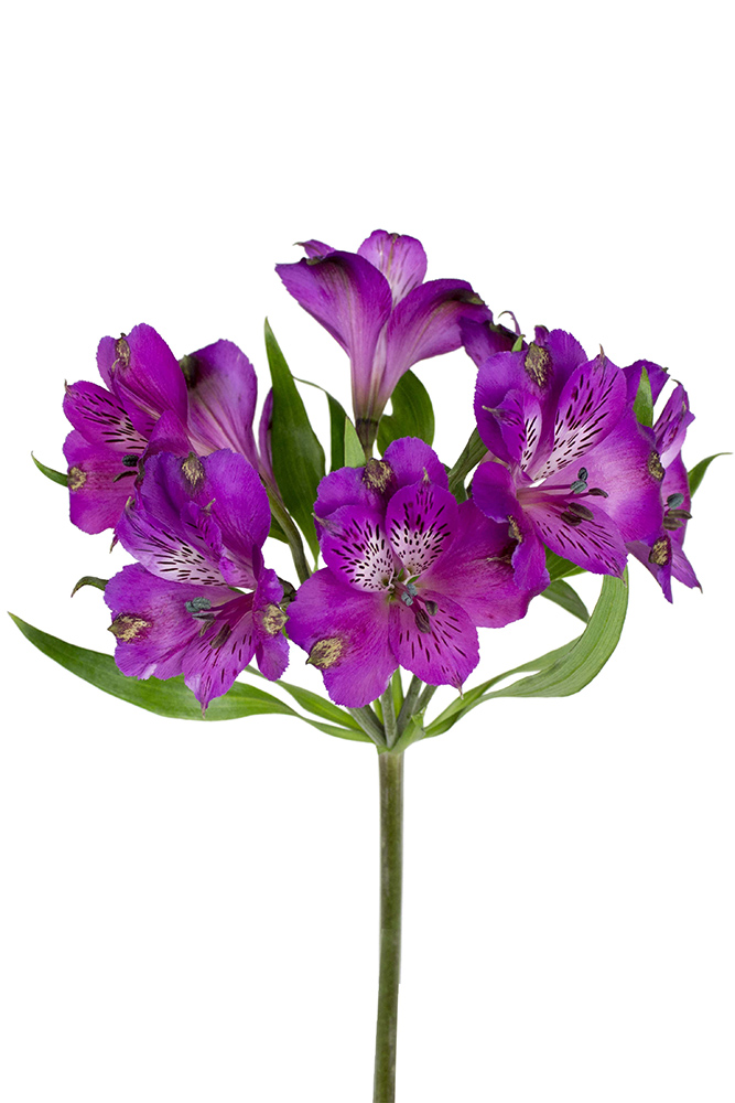 Alstroemeria Sinclair Purple