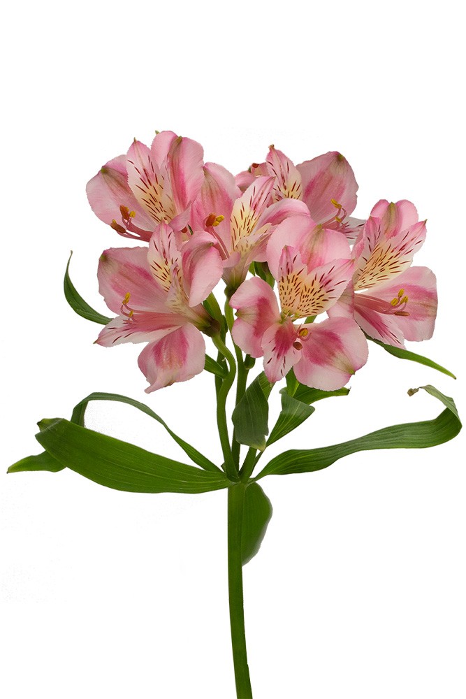 Alstroemeria Tourmaline Light Pink