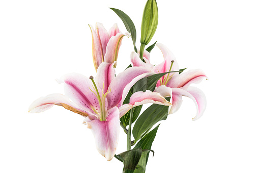 All You Need to Know About Lilies