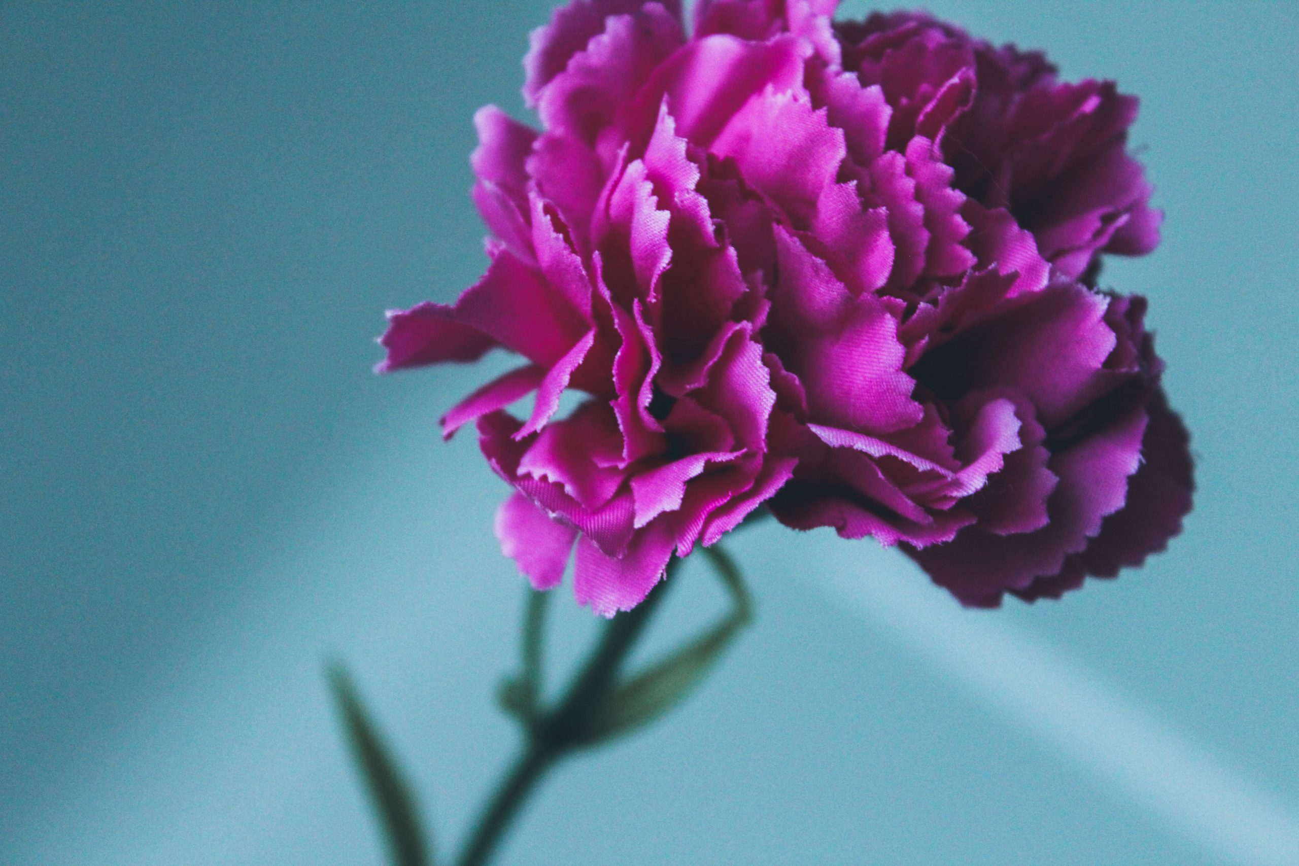 7 Facts About You Might Not Know About Carnations