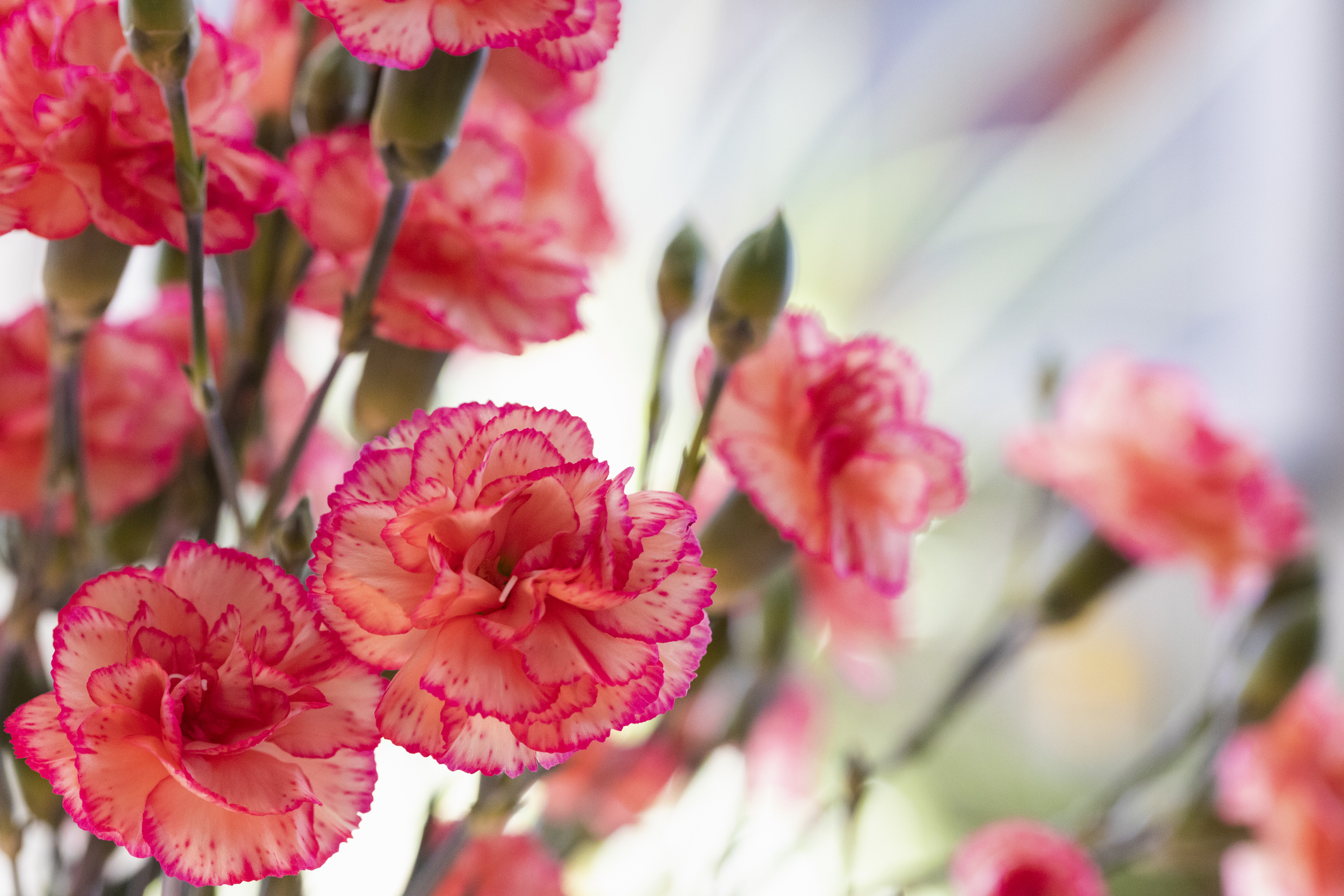Carnations: A Mother's Day Favorite