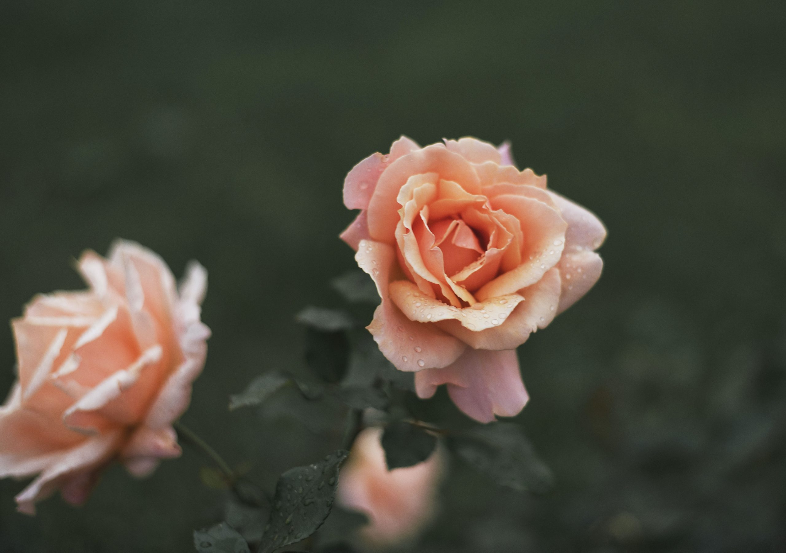 How Spray Roses Differ from Traditional Roses