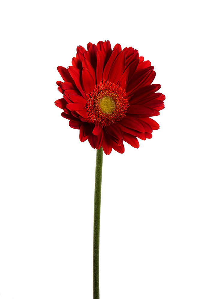 Gerbera Natasha Red
