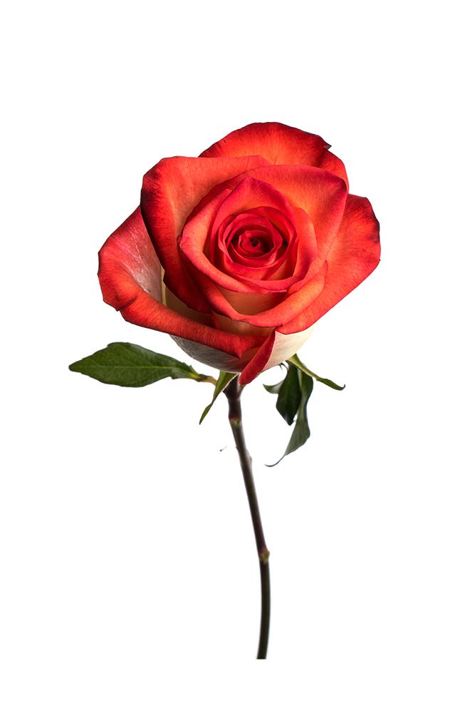 Rose Bicolor Cream-Hot Pink Blush