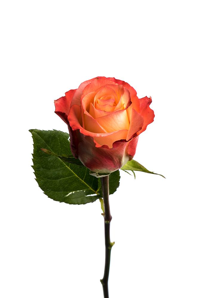 Rose Bicolor Cream-Orange Cabaret