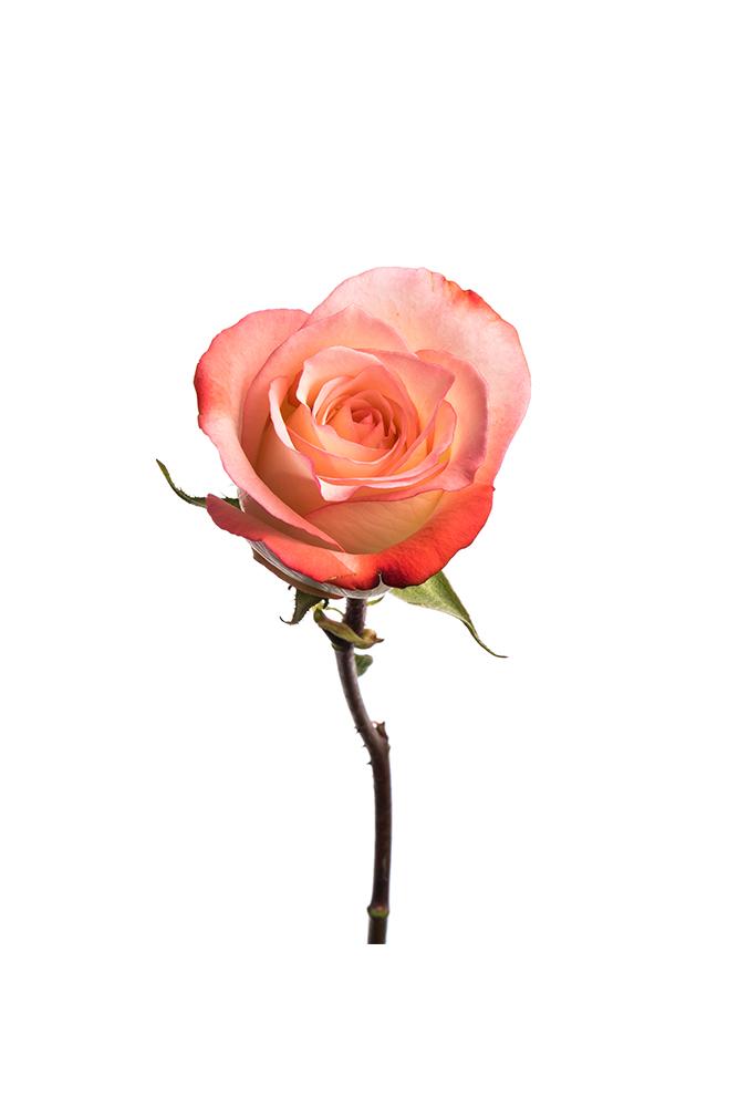 Rose Bicolor Cream-Pink Alex