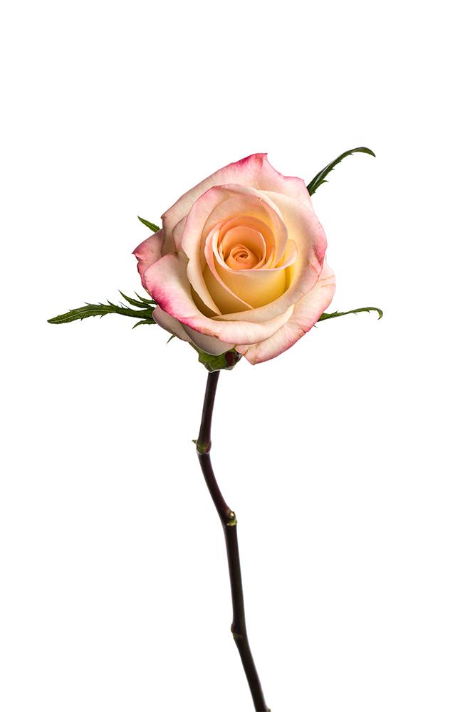 Rose Bicolor Cream-Pink Marilyn